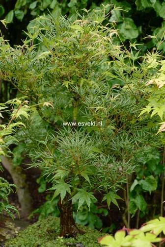 Acer palmatum 'Okushimo'