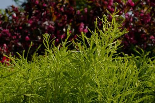 Santolina rosmarinifolia 'Lemon Fizz'