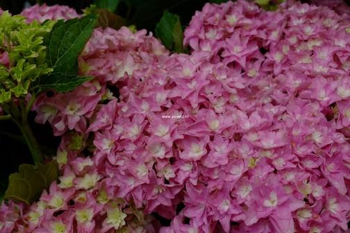 Hydrangea macrophylla 'On The Double'