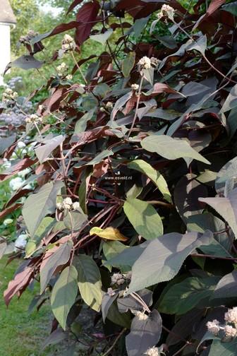 Hydrangea aspera 'Koki' (PLUM PASSION)