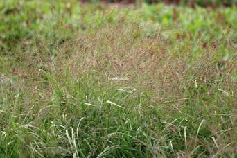 Panicum virgatum 'Kupferhirse'