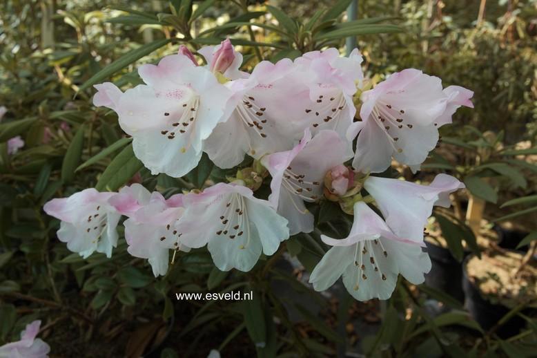 Rhododendron ciliatum