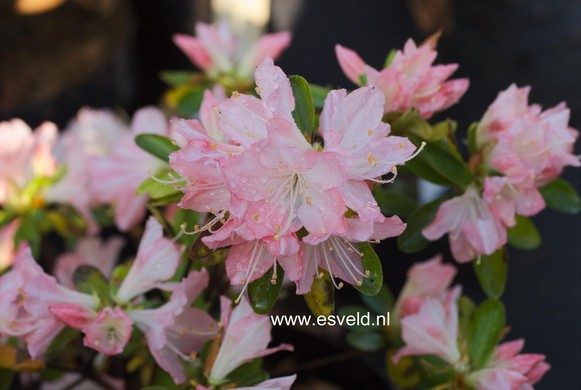 Rhododendron 'Sui yoha' (Azalea)