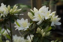 Rhododendron 'Fago-no-fugi' (Azalea)