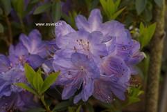 Rhododendron 'Hydon Rodney'