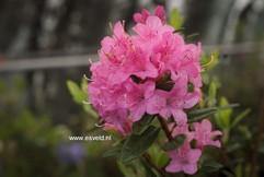 Rhododendron 'Martine'