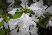 Rhododendron 'Kure no yuki' (Azalea)