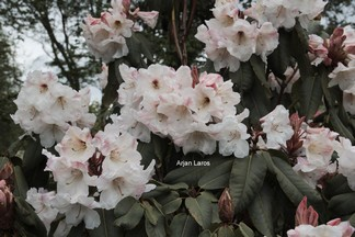 Rhododendron orbiculare subsp. cardiobasis