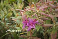 Rhododendron trichanthum