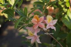 Rhododendron 'Volcano' (Azalea)