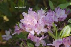 Rhododendron 'Gowenianum'