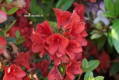 Rhododendron 'Squirrel' (Azalea)