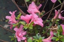 Rhododendron indicum 'Crispiliflorum'