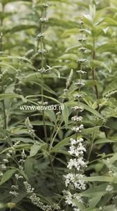 Vitex agnus-castus 'Silver Spire'