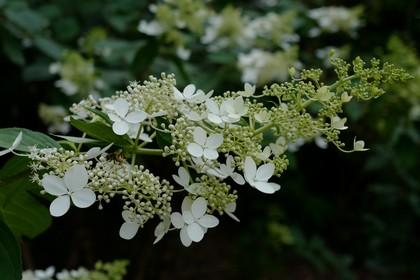 Hydrangea paniculata 'Greenspire'