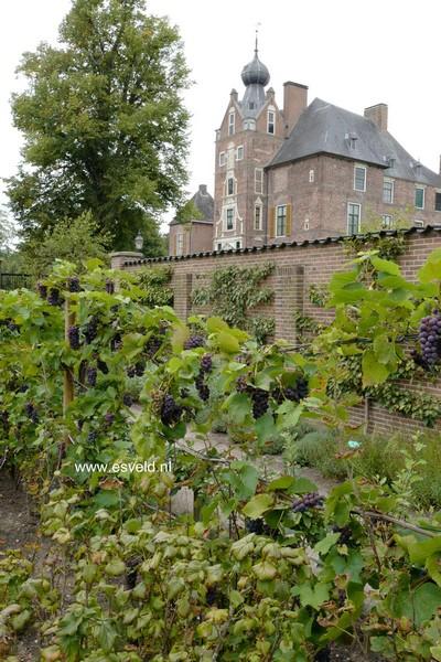 Vitis vinifera 'Boskoop Glory'