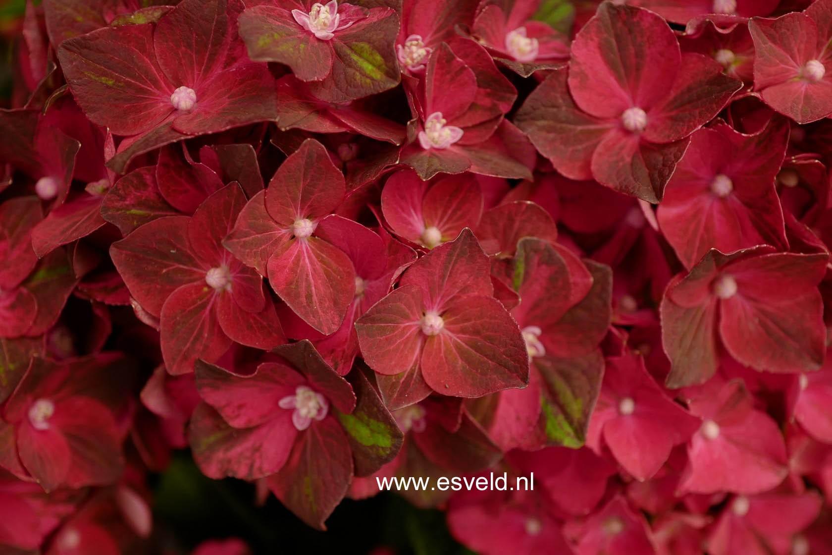 Hydrangea macrophylla 'Magical Ruby Tuesday'