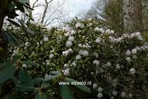 Rhododendron 'Glennyanum'