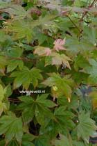 Acer circinatum x palmatum 'Morton'