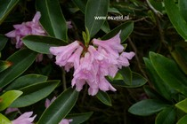 Rhododendron 'Laetevirens'