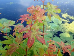 Acer palmatum 'Windover'