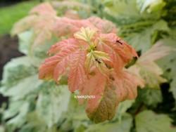 Acer pseudoplatanus 'Hermitage'
