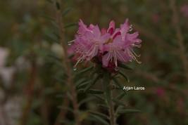 Rhododendron scabrifolium spiciferum