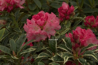 Rhododendron 'Japanese Silver'