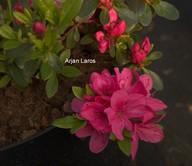 Rhododendron obtusum 'Pink Panda' (Azalea)