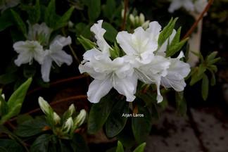 Rhododendron 'Noordtiana' (Azalea)