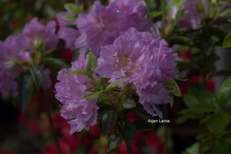 Rhododendron 'Mme Boussaert' (Azalea)