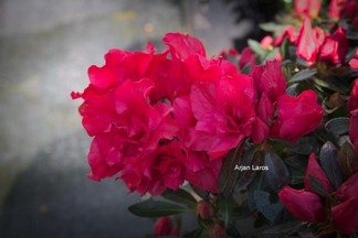 Rhododendron 'Hortinno01' (EVERGREEN RED)