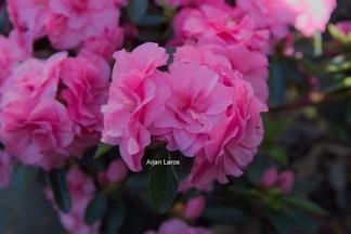 Rhododendron 'Hort9201' (HORTINNO EVERGREEN PINK)