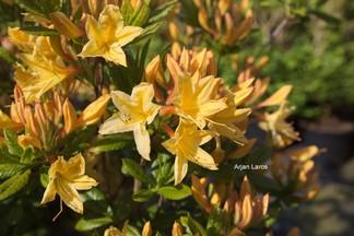 Rhododendron 'Arpege' (Azalea)