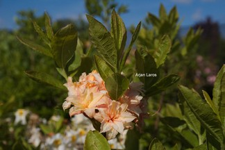 Rhododendron 'Ribera' (Azalea)