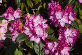 Rhododendron 'Princess Mary of Cambridge'