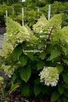 Hydrangea paniculata 'Kolmamon' (MAGICAL MONT BLANC)