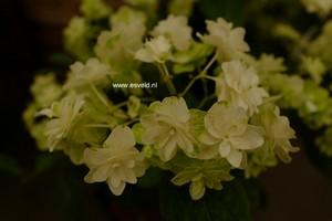 Hydrangea serrata 'White on White'