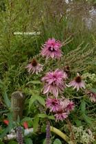 Echinacea purpurea 'Doubledecker'
