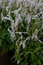 Persicaria amplexicaulis 'Inperaj' (ALBA JUNIOR)