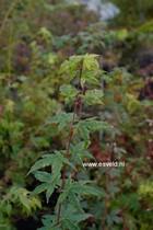 Acer 'Asian Queen' (circinatum x palmatum)