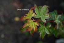 Acer palmatum 'Little Margie'