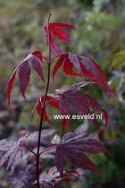 Acer palmatum 'Fayes Burgundy'