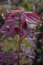 Acer palmatum 'Torchlight'