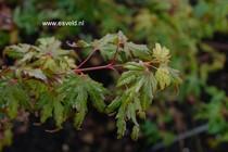 Acer palmatum 'Tess'
