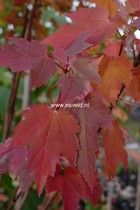 Acer rubrum 'Somerset'