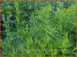 Artemisia abrotanum 'Citrina'