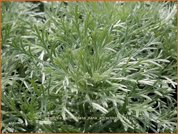 Artemisia schmidtiana 'Nana Attraction'