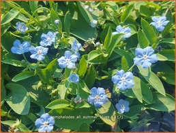 Omphalodes 'All Summer Blues'