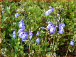 Salvia forreri